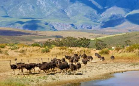 Cases of bird flu have been confirmed in the Western Cape. Picture: www.elsenburg.com.