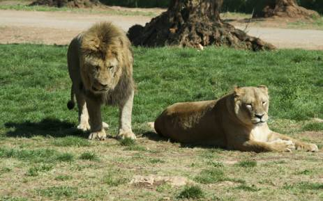 FILE: It's understood the lioness jumped through the open window, biting a woman who was in the passenger seat. Picture: freeimages.com