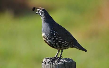 FILE: A general view of a quail. Picture: Pixabay.com.