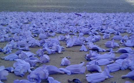 Purple Haze Of Jacarandas Draws Japanese To Sa