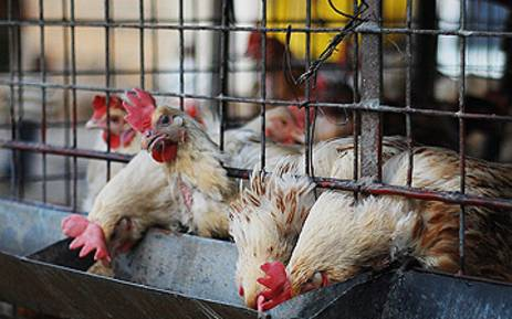 FILE: Chickens in cages waiting to be sold in Alexandra township. Picture: EWN