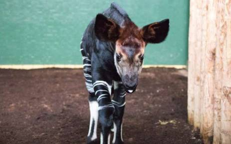The okapi born at the London zoo which has been named after Meghan Markle. Picture: London Zoo