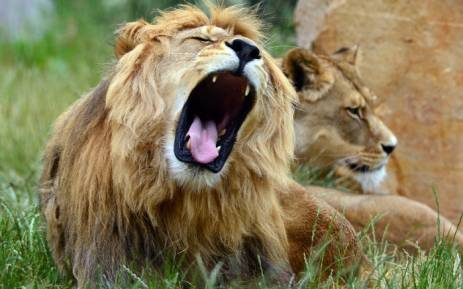 limpopo lion attack victim believed to be suspected poacher