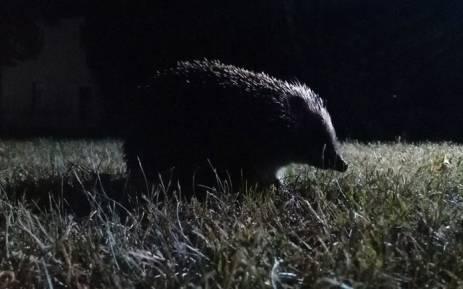 A hedgehog scrounging around a night. Picture: Pixabay.com