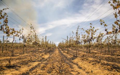 Uitkyk wine estate suffered heavy losses when the Simonsberg fire got into its vineyards on 21 January 2016. Picture: Aletta Harrison/EWN.