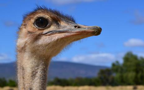 A juvenile ostrich on an Oudtshoorn farm. Picture: Aletta Gardner/EWN