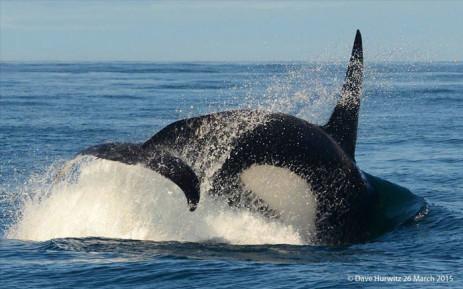Killer whale. Picture: Dave Hurwitz/ Simon's Town Boat Company