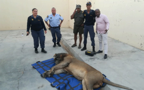 The lion, that went missing from the Karoo National Park, was found roaming 50 kilometres from Sutherland towards Calvinia, in the Northern Cape. Picture: Supplied.