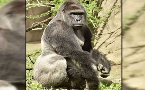 5e9b568b FILE: The gorilla was killed after a four-years-old fell into its