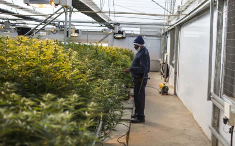 Inside a greenhouse owned by Medigrow located near Marakabei, in Lesotho on 6 August 2019. Picture: AFP.