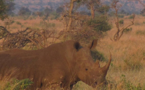 A rhinocerous in the Kruger National Park. Picture: Laura Clancy/Primedia Broadcasting.