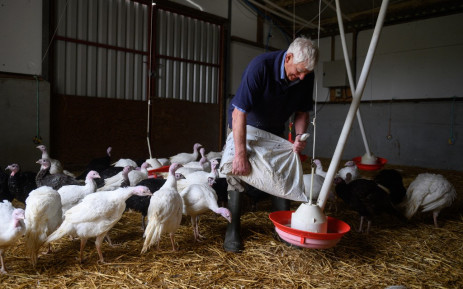 Farmer Richard Warttig tends to the traditional old breed Bronze and White turkeys are reared on 'Eastfield Turkeys' farm in the village of Oxspring, near Sheffield in northern England on 12 October 2021. The Warttig family have reared and produced turkeys on their family farm since 1933. The birds are reared from day-old chicks until they are slaughtered, plucked, hung and prepared all on-site, ready for Christmas. Picture: AFP