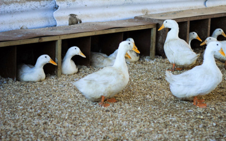 Bird flu has affected business at The Duck Farm in the Joostenbergvlakte. Picture: theduckfarm.co.za