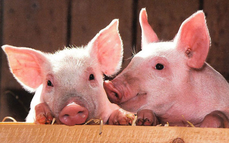Vietnam culls 1.2 mln pigs as African swine fever spreads nationwide