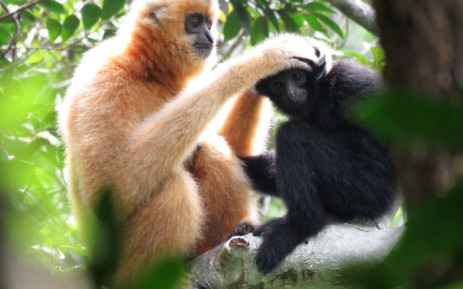 This handout picture released by Kadoorie Farm and Botanic Garden on 15 October 2020 shows an adult female Hainan gibbon with a young Hainan gibbon, the world's rarest primate, in Hainan island, southern China. Picture: AFP