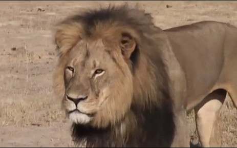 FILE: Thirteen-year-old Cecil the lion from Zimbabwe was killed by a US hunter. Picture: CNN.