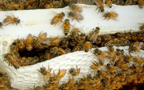 Thirty children were stung by bees at Garrit Maritz high school in Pretoria. Picture: Freeimages.