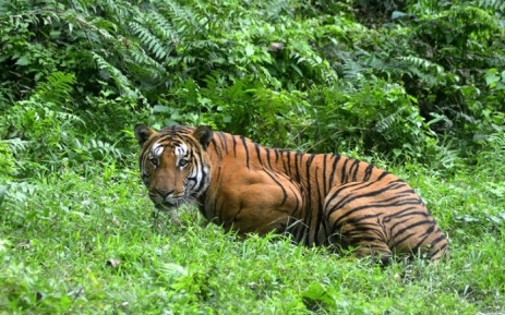 FILE: In this file photo taken on 21 December 2014, an Indian Bengal tiger looks on in a forest clearing in Kaziranga National Park, some 280km east of Guwahati in northeast India. Controversy erupted 3 November 2018 over the killing of a man-eating tiger in India that had claimed 13 victims in two years but may have been illegally killed herself. Picture: AFP