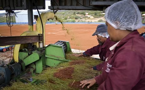 Farmworkers process rooibos in the Cederberg region. Picture: Aletta Harrison/EWN