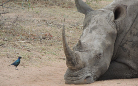 White rhino. Picture: Big Game Parks.