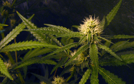 Marijuana plant in the early flowering/budding stage, growing indoors inside a grow tent. Picture: Freeimages.com
