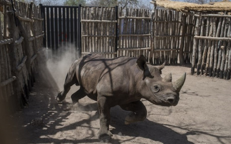 FILE: In this file photo taken on 4 May 2018 a black rhino runs around in a holding pen in Zakouma National Park in Chad. Four out of six South African rhinos that were transferred to a park in southeast Chad in a bid to revive the endangered species have died, but not from poaching, conservationists say on 6 November 2018. Picture: AFP