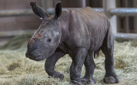 The southern white rhino calf conceived through artificial insemination at the San Diego Zoo. Picture: San Diego Zoo