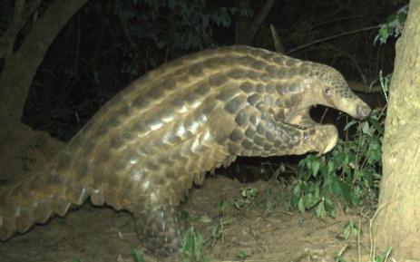 A rare giant pangolin in Uganda captured on camera. Picture: @chesterzoo