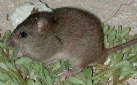 A Bramble Cay melomys. Picture: @FieldMuseum/Twitter