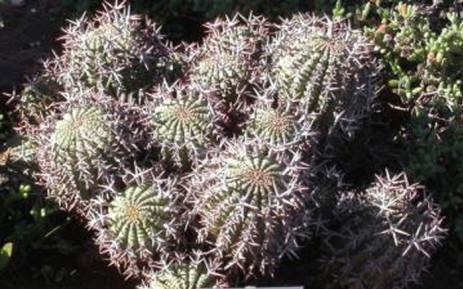 Euphorbia stellispina. Picture: plantzafrica.com