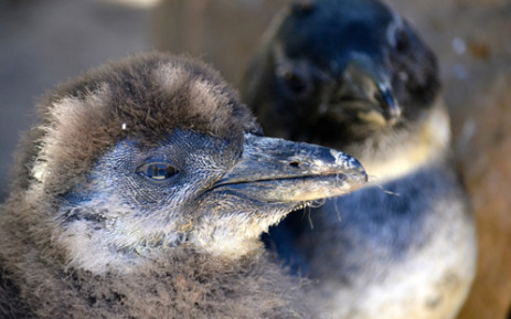 Young, abandoned penguin chicks are taken in at SANCCOB every year and cared for in an attempt to boost colony numbers of the endangered birds. Picture: Aletta Gardner/EWN