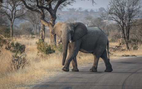 FILE: An elephant crosses the road in Kruger National Park. Picture: Abigail Javier/Eyewitness News.