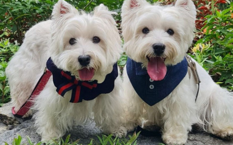 """Sasha and Piper make regular appearances on their """"Lomodoggies"""" Instagram account, often wearing matching accessories and posing for the camera with their tongues hanging out. Picture: @lomodoggies/Instagram."""