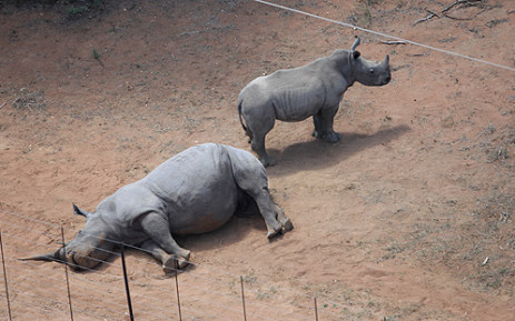 A rhino calf stands next to its mother after being killed by poachers at the Finfoot Lake Reserve in the Brits District. Picture: Taurai Maduna/EWN