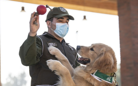 Members of the Chilean Police Canine Training team play with a golden retriever dog named Clifford, before the beginning of its training session aimed to detect people infected with coronavirus COVID-19 during a presentation to the press, in Santiago, on 14 July 2020. Picture: AFP