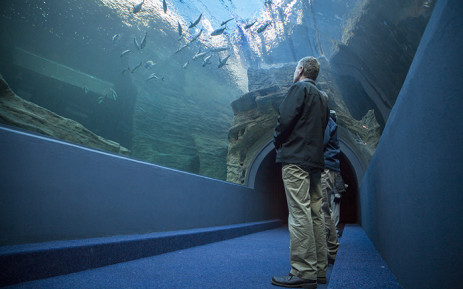 FILE: Two Oceans Aquarium's Michael Farquhar gazes up at the Ocean Exhibit from the tunnel on 13 June 2016, days before it officially opened to the public. Picture: EWN