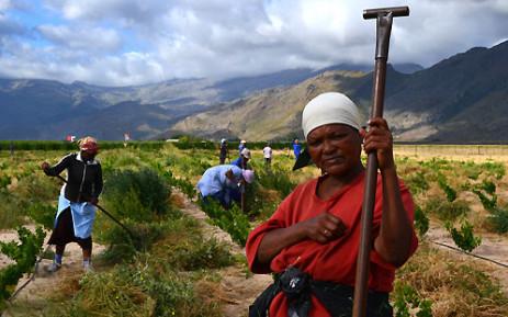 FILE: Farmworkers on a Western Cape grape farm. Picture: Aletta Gardner/EWN.