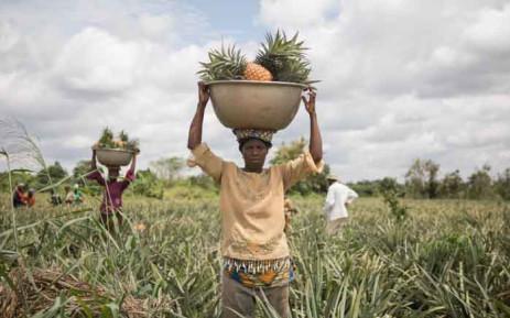 People work in a pineapple field in Soyo in Benin. Picture: AFP.