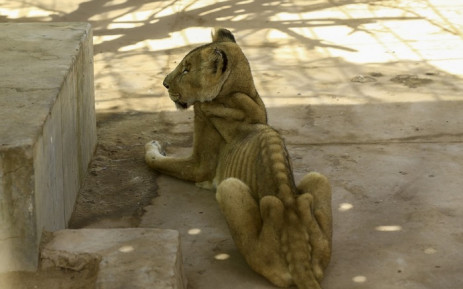 A malnourished lioness sits in its cage after receiving treatment at al-Qureshi park in the Sudanese capital Khartoum on 23 January 2020. Picture: AFP