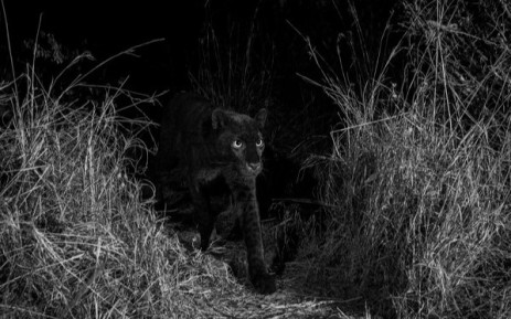 The Real Black Panther Spotted In Kenya
