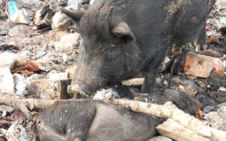 FILE: Animals were left without food and water on Thandi Modise's farm, which resulted in over 50 dead pigs.