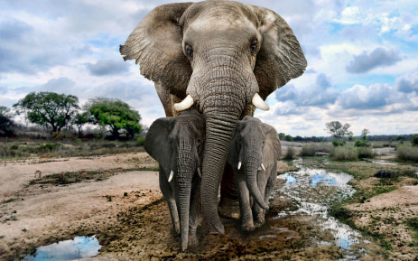 FILE: The elusive animal is listed by the International Union for the Conservation of Nature (IUCN) as critically endangered, threatened by habitat loss as well as poaching for ivory and bushmeat. Picture: 123rf.com
