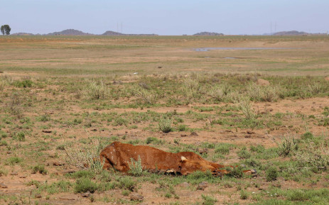 A carcass of a cow lost in the drought lie in a field in the Free State.  Picture: Christa Eybers/EWN.