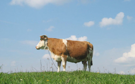 Cow. Picture: freeimages.com