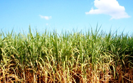 A sugarcane filed. Picture: Stock.XCHNG