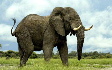 An African elephant. Picture: animal.nationalgeographic.com