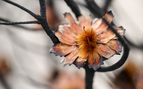 A protea in the process of shedding its seeds in the Silvermine nature reserve a week after a large fire swept through the area in March 2015. Picture: Aletta Gardner/EWN