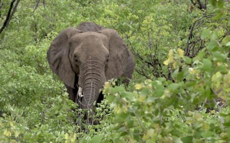 An elephant. Picture: Louise McAuliffe/EWN.