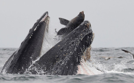 Sea lion gets swallowed whole by humpback whale in accidental encounter