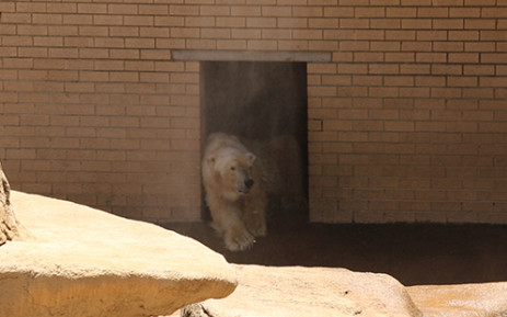 Wang was the only remaining polar bear in Africa. Picture: Supplied.